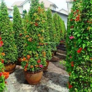 Begonvil Büyük, Kağıt Çiçek aşılı kırmızı, pembe, turuncu,konik formlu - Bougainvillea glabra multicolor cone (NYCTAGINACEAE)