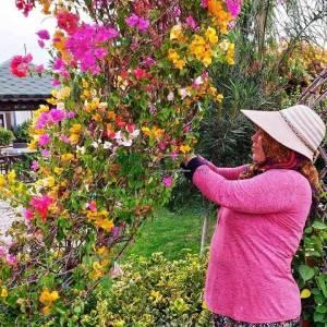 Begonvil Büyük, Kağıt Çiçek aşılı kırmızı, pembe, turuncu,şekilli kalp formlu - Bougainvillea glabra multicolor heart (NYCTAGINACEAE)