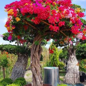 Begonvil Büyük, Kağıt Çiçek aşılı kırmızı, pembe, turuncu,şekilli mantar formlu - Bougainvillea glabra multicolor mushrooms (NYCTAGINACEAE)