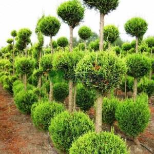 Leyland Cypress three balls