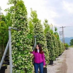 Beyaz çiçekli yıldız çiçekli çin yasemini - Rhyncospermum (Trachelospermum) jasminoides extra (APOCYNACEAE)