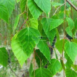 Ağlayan salkım sarkık huş - Betula pendula tristis (BETULACEAE)