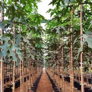 Şişe ağacı, Japon, avustralya, Süs kavağı, Kurrajong - Brachychiton discolor (MALVACEAE)