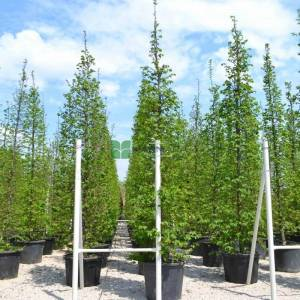 Piramit formlu kara gürgen - Carpinus betulus (BETULACEAE)