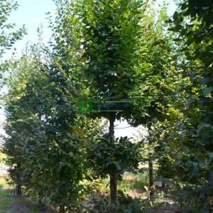 Şekilli üç top formlu kara gürgen - Carpinus betulus 3 ball (BETULACEAE)