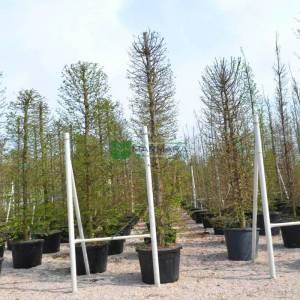 Şekilli silindir formlu kara gürgen - Carpinus betulus cylinder (BETULACEAE)
