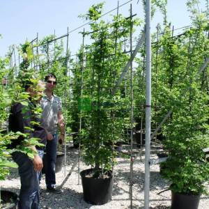Şekilli perde çit formlu kara gürgen - Carpinus betulus espalier (BETULACEAE)