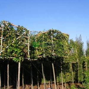 Şekilli küp blok formlu kara gürgen - Carpinus betulus cube/blockform (BETULACEAE)