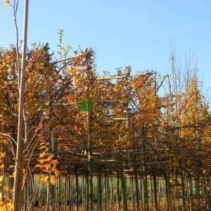 Şekilli tijli perde çit formlu kara gürgen - Carpinus betulus espalier tige (BETULACEAE)
