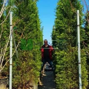 Leylandi aşılı yeşil, servi melez - Cupressocyparis leylandii clone 2001 (CUPRESSACEAE)