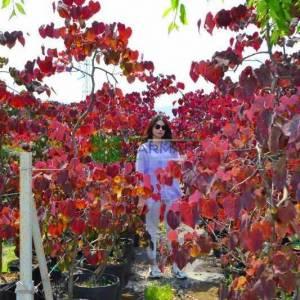 Kanada erguvanı kırmızı yapraklı salkım sarkık formda, - Cercis canadensis ruby falls (LEGUMINOSAE)