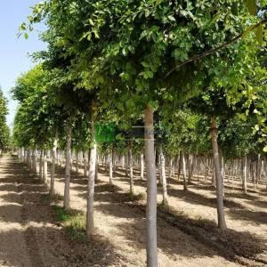 Çin banyanı, Malaya banyanı, Hint defne, perde inciri veya gajumaru - Ficus microcarpa banyan (Ficus banyana) (MORACEAE)
