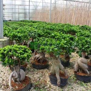 ficus bonsai, hint inciri bonsai formlu - Ficus macrocarpa bonsai (MORACEAE)