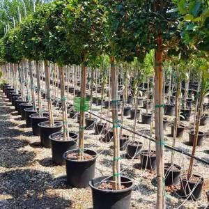 Sokak benjamini, Kauçuk, Çin, Malayan, banyanı, Hint defnesi, perde inciri, gajumaru - Ficus nitida half standart (Ficus microcarpa nitida) (MORACEAE)