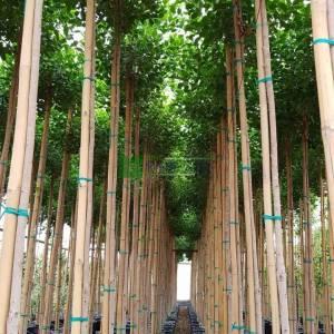 Ağlayan incir, Çin Banyan, panda kısa tijli - Ficus benjamina panda tige (MORACEAE)