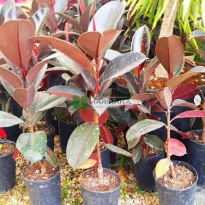 Bordo-kırmızı yapraklı kauçuk Ağacı - Ficus elastica burgundy (MORACEAE)