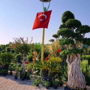 ficus bonsai, hint inciri çok köklü bonsai formlu - Ficus macrocarpa multi root bonsai (MORACEAE)