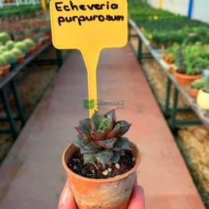 Echeveria, sukkulent - Echeveria purpurosum (CRASSULACEAE)