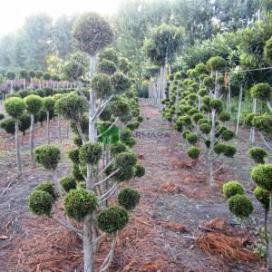 Şekilli Multiponpon leylandi - Cupressocyparis leylandii multi pom poms (CUPRESSACEAE)