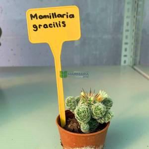 Yüksük Kaktüsü, Mammillaria - Mammillaria vetula subsp. gracilis (CACTACEAE)