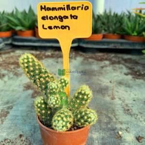 Yüksük Kaktüsü altuni, Mammillaria, Bayan parmağı, beyin kaktüsü - Mammillaria elongata lemon (CACTACEAE)