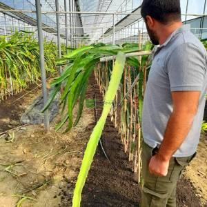 Dragon Meyvesi, Ateş Ejderi Meyvesi, Pitajaya, pitaya - Hylocereus Cactus (Cereus polyrhizus) (CACTACEAE)