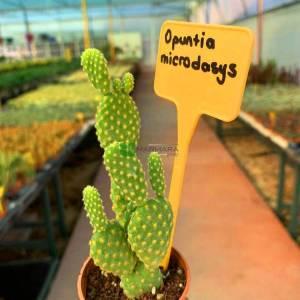 Opuntia Türleri, Tavşan Kulak kaktüsü, Diken İnciri - Opuntia microdasys (CACTACEAE)