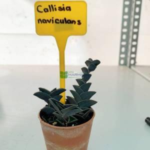 Callisia Türleri, Zincir Bitki - Callisia navicularis (COMMELINACEAE)
