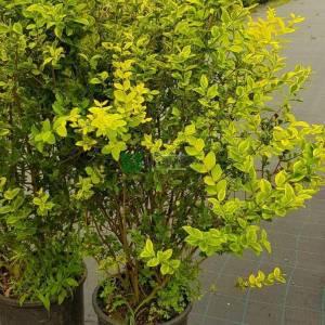 Oval Yapraklı Kurtbağrı, Kore Kurtbağrı, Kaliforniya Kurtbağrı, Bahçe Kurtbağrı - Ligustrum ovalifolium aureum (OLEACEAE)