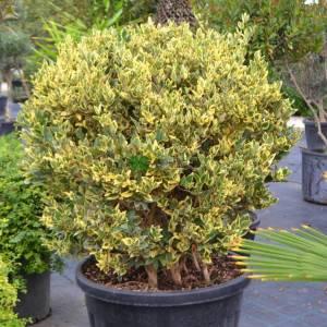 Kurtbağrı sarı-yeşil geniş yapraklı top formlu - Ligustrum japonicum jack frost ball (OLEACEAE)