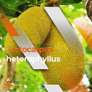 Artocarpus Species, Jackfruit, Jack Fruit