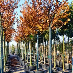 Pembe çiçekli tijli süs kirazı - Prunus x incam okame high tige (ROSACEAE)