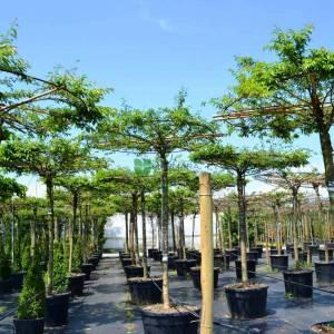 Kış kirazı, Top formlu aşılı pembe, beyaz, çiçekli süs kirazı şemsiye formlu - Prunus subhirtella autumnalis umbrella/tetto shaped (ROSACEAE)